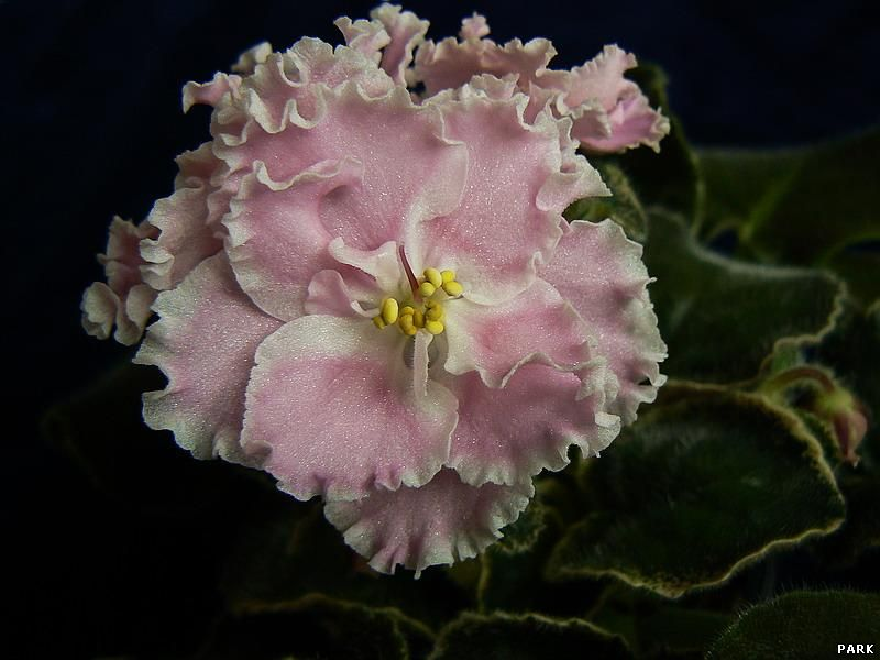Розовая Акварель